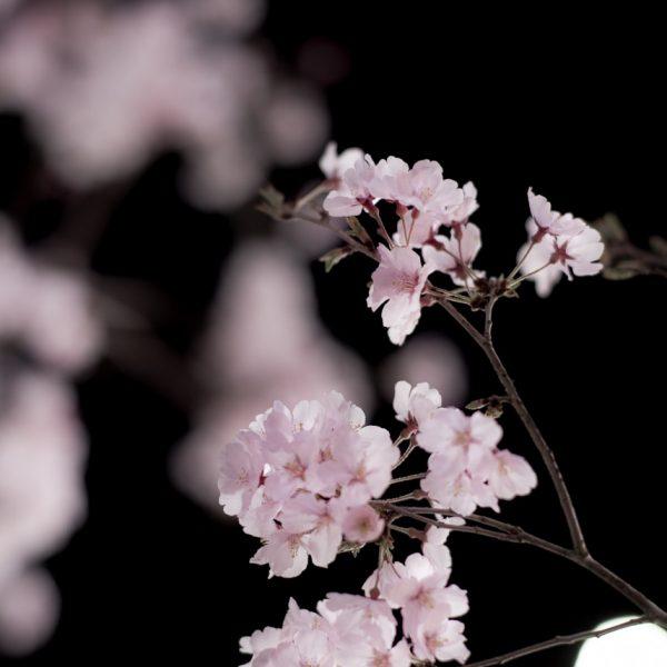 もうすぐ夏ですが、夜桜♪ Carl Zeiss Planar T* SLR 85mm/F1.4