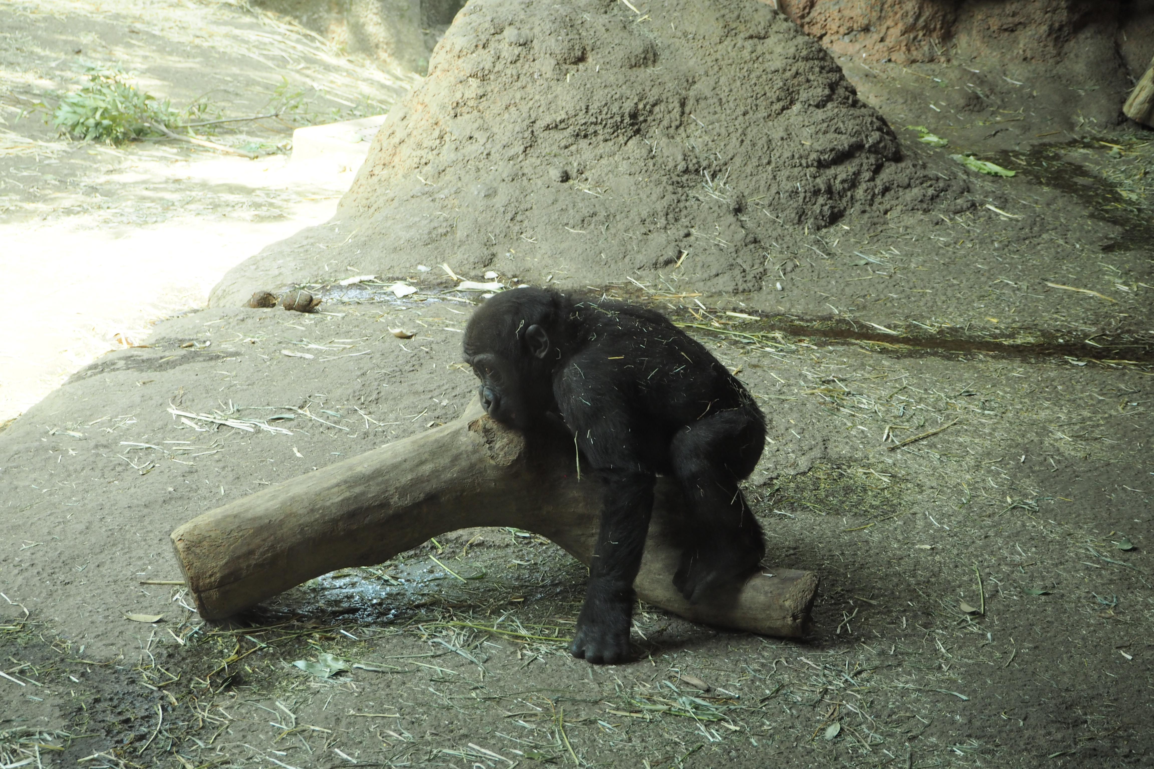 上野動物園:ゴリラの赤ちゃん
